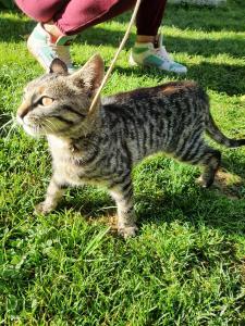 Pisica, pui,gri tarcata, prietenoasa si deparazitata